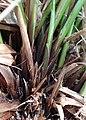 Carex paniculata kz04.jpg