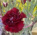 Carnation dark maroon.jpg