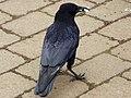 Carrion Crow (Corvus corone) (5594503633).jpg