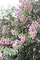Caryophyllales - Bougainvillea glabra - 3.jpg