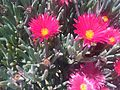 Caryophyllales - Cheiridopsis sp. - Malta 1.jpg