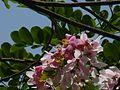 Cassia javanica (2478106487).jpg