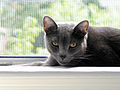 Cat Russian Blue 02.jpg