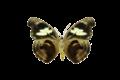 Catonephele numilia1.png
