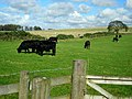 Cattle Near Millstonerigg - geograph.org.uk - 565083.jpg