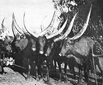 History of Rwanda - Cattle of Rwanda, circa 1942