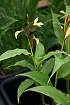 Cautleya gracilis 220607.jpg