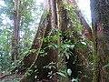 Ceiba Árbol de la Paz 4.jpg