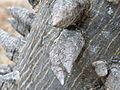 Ceiba parviflora (5742585844).jpg