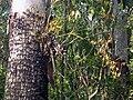 Cepobaculum semifuscum on Eucalyptus tessalaris.jpg