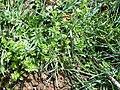 Cerastium glomeratum Habitus 2010-3-29 DehesaBoyalPuertollano.jpg