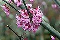 Cercis canadensis Forest Pansy 4zz.jpg