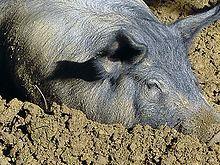 Tête d'un porc couché dans la boue