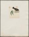 Certhiola martinicana - 1820-1860 - Print - Iconographia Zoologica - Special Collections University of Amsterdam - UBA01 IZ19000445.tif