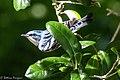Cerulean Warbler (male) Anahuac NWR-Jackson Prairie Woodlot TX 2018-04-24 14-51-07 (42057561051).jpg