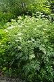 Chaerophyllum aureum kz04.jpg