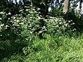 Chaerophyllum bulbosum sl4.jpg