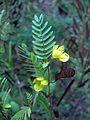 Chamaecrista fasciculata (homeredwardprice) 002.jpg