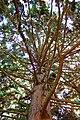 Chamaecyparis pisifera Rogów.JPG