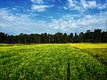Chamomile Farming, Dhangadi.jpg
