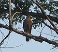 Changeable Hawk Eagle. Spizaetus cirrhatus - Flickr - gailhampshire.jpg