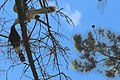 Channel-billed Cuckoo (Scythrops novaehollandiae) juvenile being fed, 02.jpg