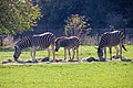 Chapman's Zebras (Equus quagga chapmani) (CWPG) (1).jpg