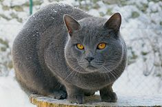 Fat Abyssinian Cat