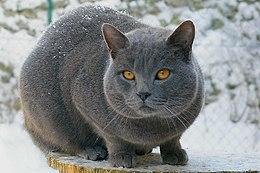 Certosino (gatto)