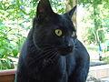 Chat noir à tache blanche au cou.jpg
