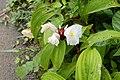 Cheilocostus speciosus 9191.jpg