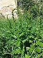 Chenopodium bonus-henricus sl10.jpg