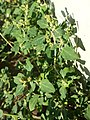 Chenopodium vulvaria sl8.jpg