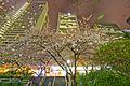 Cherry Blossoms @ Burrard Station (25514026981).jpg