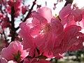 Cherry blossom (7056354523).jpg