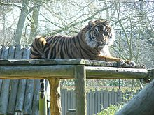 Chessington Zoo Sumatran tiger 2010.jpg