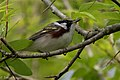 Chestnut-sided Warbler (male) Sabine Woods TX 2018-04-28 07-11-14-2 (41479715814).jpg