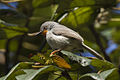 Chestnut-throated Apalis - Uganda H8O3351 (16707119014).jpg