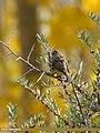 Chestnut Bunting (Emberiza rutila) (27860247889).jpg