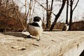 Chickadee (6887829262).jpg