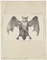 Chilonycteris cinnamomea - 1700-1880 - Print - Iconographia Zoologica - Special Collections University of Amsterdam - UBA01 IZ20700173.tif