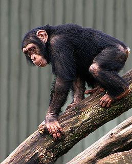 http://upload.wikimedia.org/wikipedia/commons/thumb/5/57/Chimpanse.jpg/258px-Chimpanse.jpg