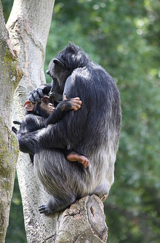 Animal culture - A chimpanzee mother and baby.