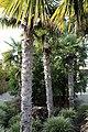 Chinesische Hanfpalme (Trachycarpus fortunei) Blumengärten Hirschstetten Wien 2014 a.jpg