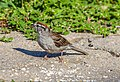 Chipping Sparrow (29263928857).jpg