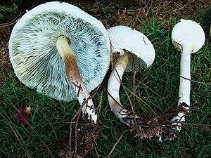 Chlorophyllum molybdites - Image: Chlorophyllum.Molybd ites.002