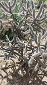 Cholla cactus at the El Paso Museum of Archaeology.