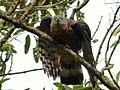 Chondroierax uncinatus (Caracolero selvático) - Flickr - Alejandro Bayer (3).jpg