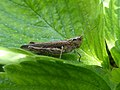 Chorthippus brunneus on strawberry leaf 01.jpg