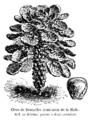 Chou de Bruxelles demi-nain de la Halle Vilmorin-Andrieux 1904.png